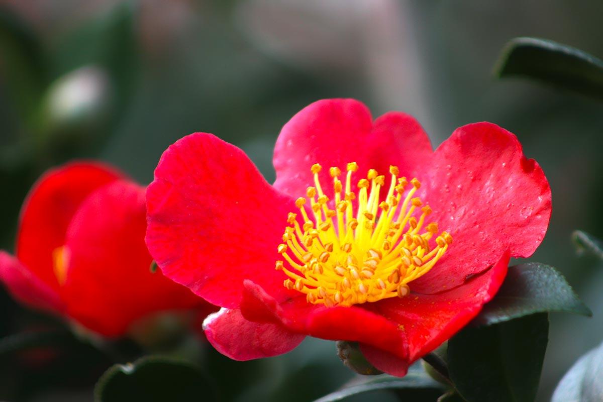 Camellia sasanqua - Camelia giapponese ...