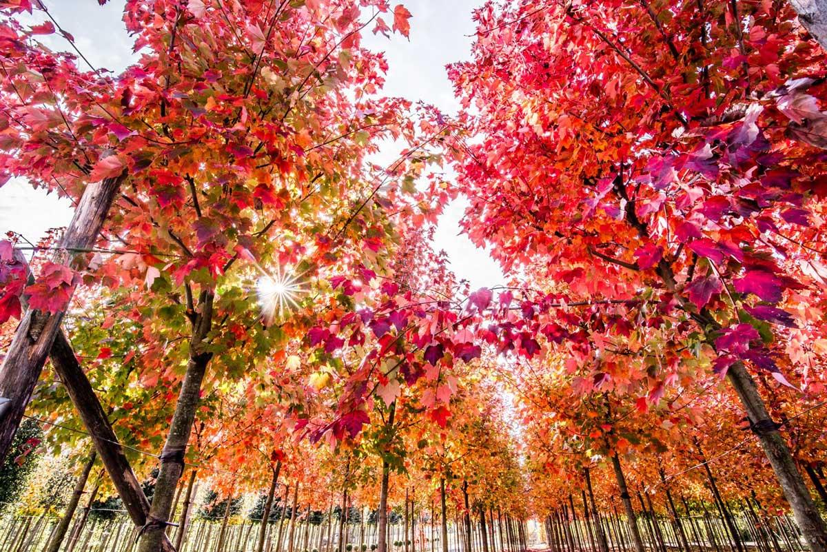 Acero Giapponese Verde alberi-e-arbusti-d-autunno-per-arredare-spazi-verdi blog
