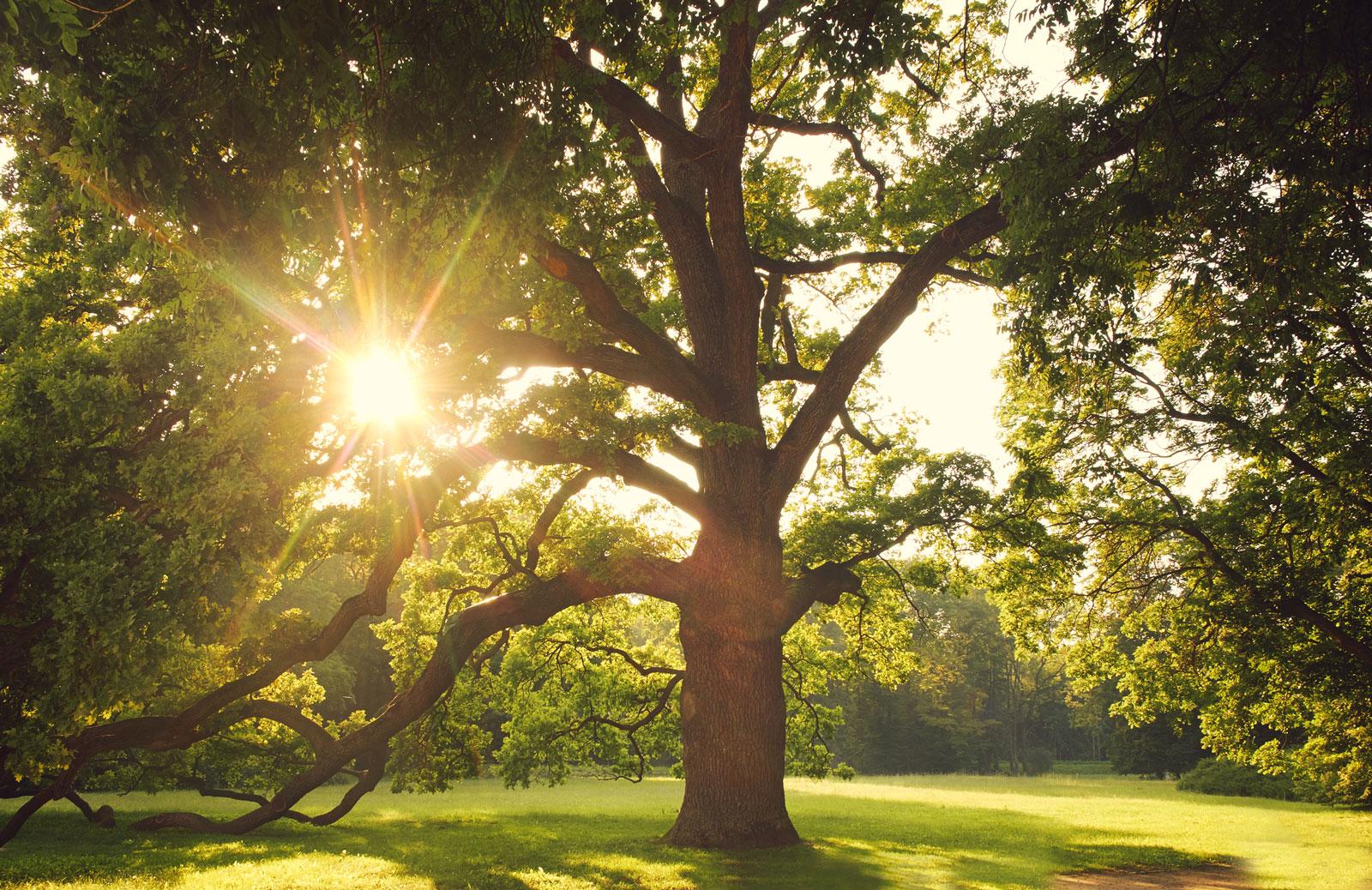Grandi Alberi Da Giardini alberi-di-grandi-dimensioni-per-progetti-verdi-scenografici