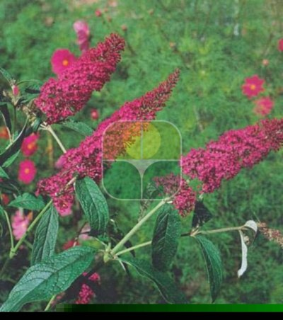 BUDDLEIA DAVIDII ROYAL RED