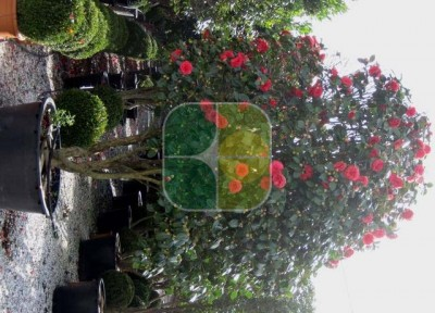 CAMELLIA JAPONICA ROSSO