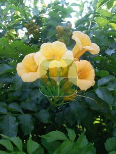 CAMPSIS RADICANS YELLOW TRUMPET
