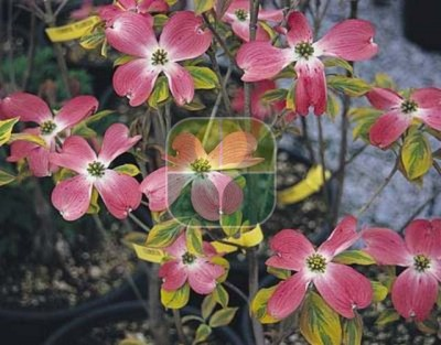 CORNUS FLORIDA CHEROKEE SUNSET
