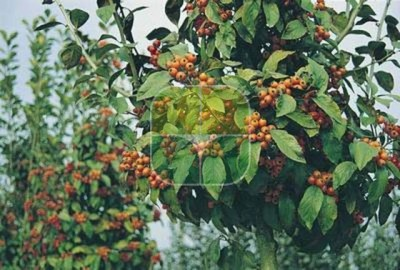 CRATAEGUS X LAVALLEI CARRIEREI