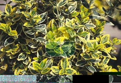 EUONYMUS FORTUNEI EMERALDN GOLD