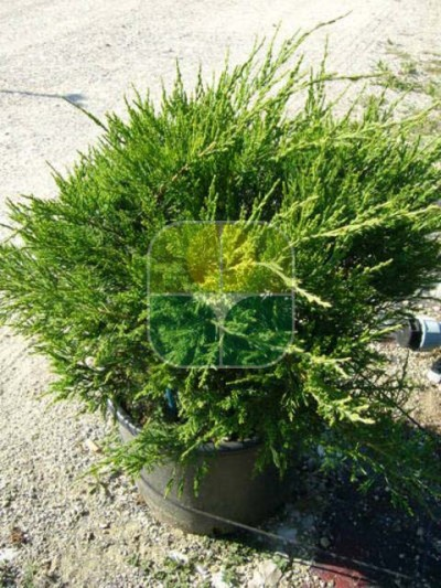 JUNIPERUS CHINENSIS MINT JULEP