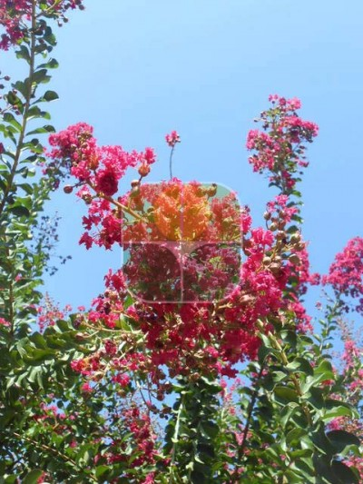 LAGERSTROEMIA X DURANT RED