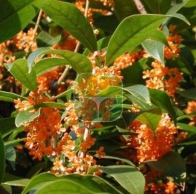 OSMANTHUS FRAGRANS RUBRA