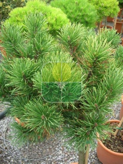PINUS MUGO WINTER GOLD